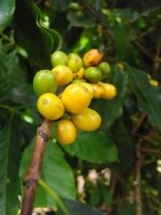 Plantacja kawy wBrazylii – Zapowiada się obfity zbiór zółtych owoców kawy odmiany Yellow Bourbon.