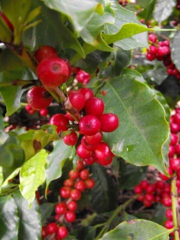 Plantacja kawy wBrazylii – Owoce są już dojrzałe, azbiory zapowiadają się obficie.