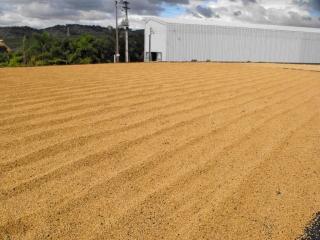 Zbiory kawy wBrazylii – Pooczyszczeniu iposortowaniu kawa jest suszona napatio przezok. 3 dni.