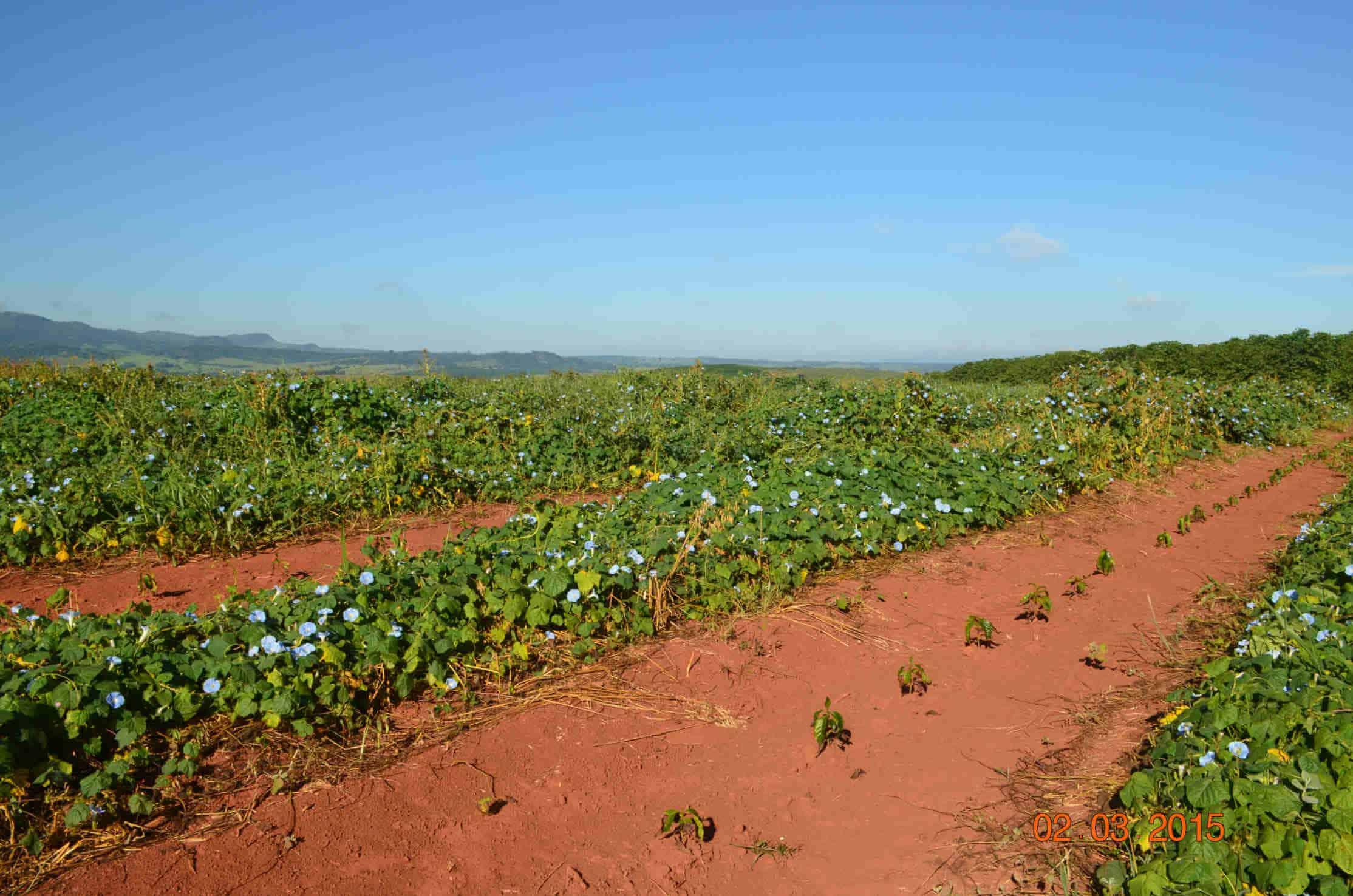Plantacja kawy wBrazylii – Aby zaradzić suszy, któraspowodowała straty wuprawach dochodzące do20%, naniektórych plantacjach podjęto próby posadzenia roślin, którychzadaniem jest częściowe zatrzymanie wody wglebie.