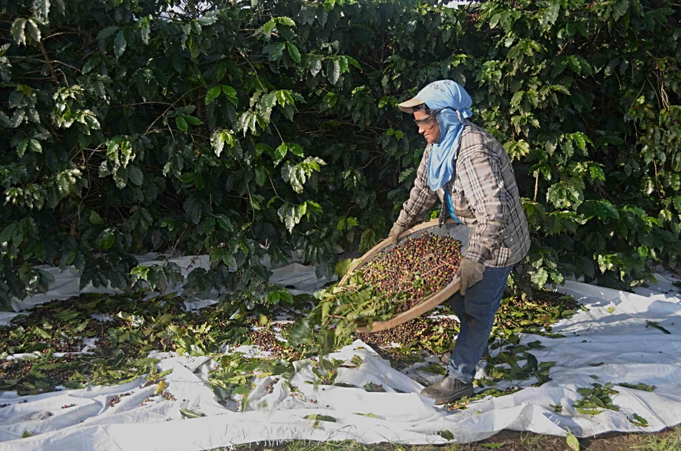 Zbiory kawy wBrazylii – Podczas zbiorów pracownicy potrząsają specjalnymi sitami ipodrzucają nanich kawę wcelu wstępnego oddzielenia owoców kawowych odliści iinnych zanieczyszczeń.