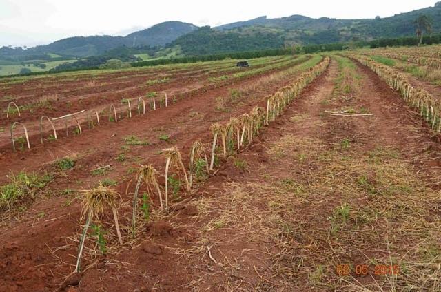 Plantacja kawy wBrazylii - Zuwagi nazmechanizowany sposób zbiorów, nabrazylijskich plantacjach nierosną drzewa, które mogłyby ochornić kawowce przedsłońcem, tzw. shade trees. Nanadmierne promieniowanie słoneczne ibrak deszczu szczególnie narażone są młode roślinki. Aby zapobiec skutkom nadmiernego nasłonecznienia, nadmłodymi drzewkami ustawia się osłonki ztrawy.