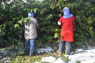 Zbiory kawy wBrazylii – Zbiory kawy wBrazylii trwają, wzależnosći odregionu, odkwietnia – czerwca dolipca – września. Im wyżej położone tereny upraw, tym później dojrzewa ziarno. Nafotografii nietypowy dla tego kraju zbiór ręczny.