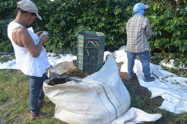 Zbiory kawy wBrazylii – Owoce są zbierane doplastikowych wiader, anastępnie przesypywane doworków. Każdy zbieracz zlicza ilość zebranej kawy, odczego uzależniona jest wysokość wypłaty.