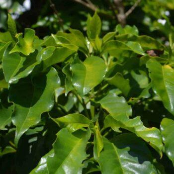 Produkcja kawy wBrazylii