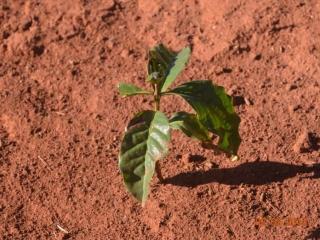 Uprawy dotknięte suszą