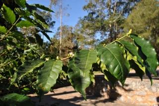 Okazała Mokka owyjątkowo pięknych, jasnozielonych liściach