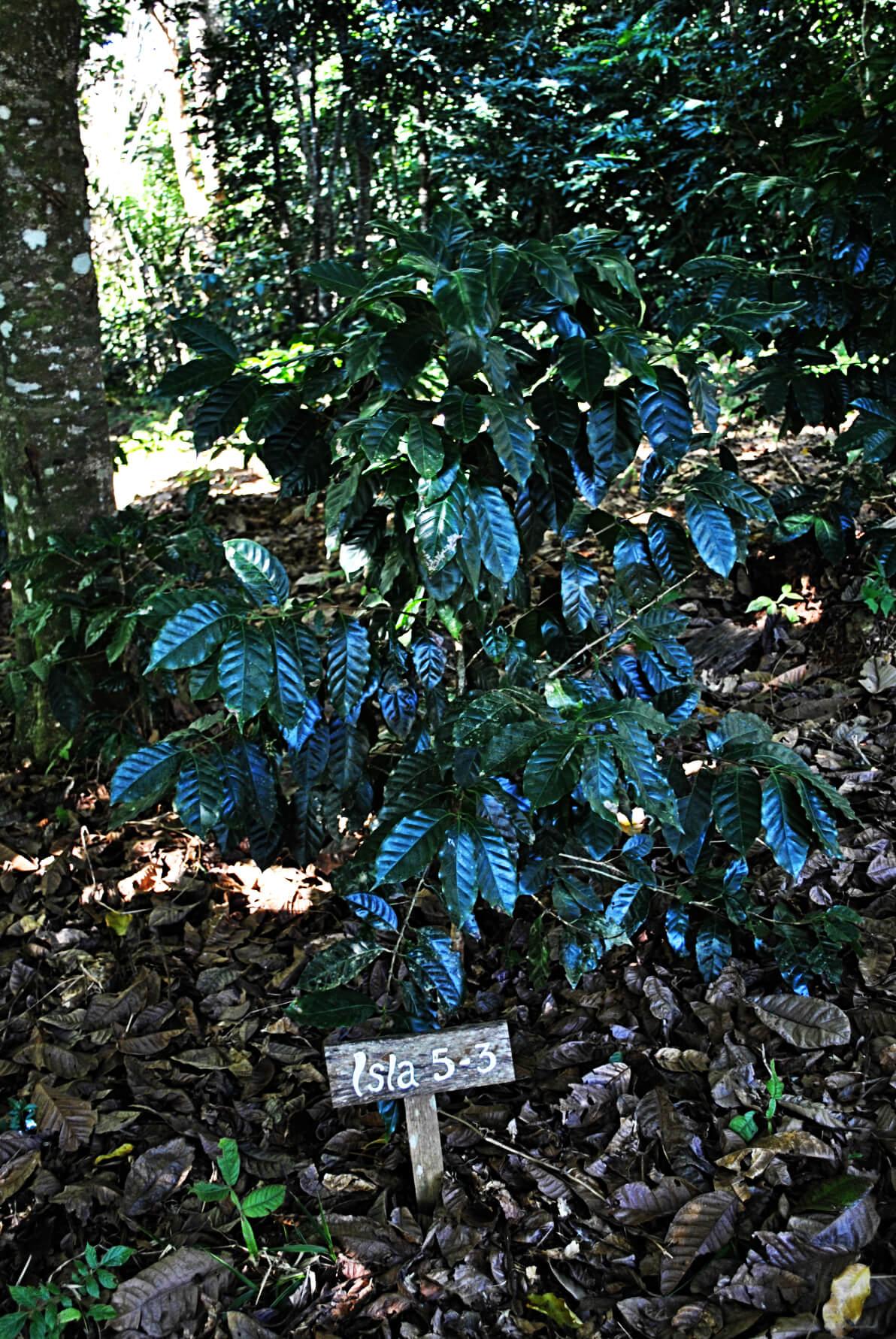 Drzewka kawowe  -Każda zodmian jest opatrzona podpisem, co pozwala naporównanie poszczególnych gatunków